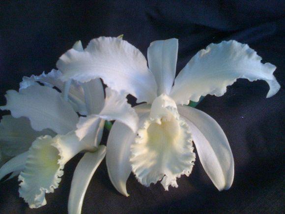 Pure White Japhet -- Back in Production!